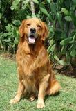 Goldener Apportierhund sitzen stockfoto