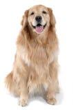 Goldener Apportierhund-Sitzen stockbilder