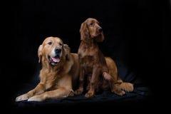 Goldener Apportierhund und Irischer Setter Stockfoto