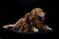 Goldener Apportierhund und Irischer Setter Stockfotos