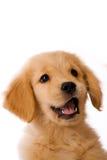 Goldener Apportierhund-Welpe Lizenzfreie Stockfotografie