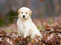 Goldener Apportierhund-Welpe. Stockfoto