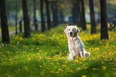 Goldener Apportierhund zwischen Löwenzahn Lizenzfreie Stockfotos