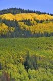Goldener Aspen Rocky Mountains mit Autumn Colors Stockfotografie
