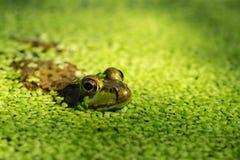 Goldener Augenfrosch, der von der Entengrütze auf Oberfläche von Teich auftaucht stockbild