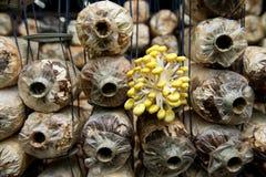 Goldener Austernpilz Lizenzfreie Stockbilder