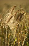 Goldener bärtiger Weizen Lizenzfreies Stockfoto