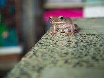 Goldener Baum-Frosch, der auf dem Tisch sitzt Lizenzfreies Stockbild