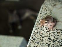 Goldener Baum-Frosch, der auf dem Tisch sitzt Stockbilder