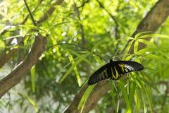 Goldener birdwing Schmetterling im Park Stockbilder