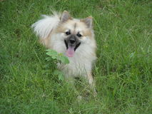 goldener deutscher Spitzhund lizenzfreie stockbilder
