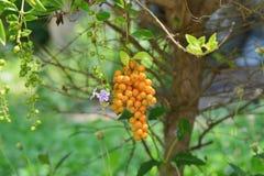 Goldener Dewdrop Stockbild