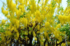 Goldener Duschblumen-Baum Stockbild