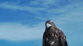 Goldener Eagle Aquila Chrysaetos mit blauem Himmel stock video