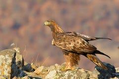 Goldener Eagle Sitting auf einem Felsen Stockfotografie