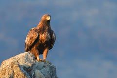 Goldener Eagle Sitting auf einem Felsen Lizenzfreies Stockfoto