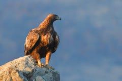 Goldener Eagle Sitting auf einem Felsen Lizenzfreie Stockfotografie