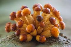 Goldener Einstufenschutzkappe Pilz Stockbilder