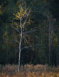 Goldener einziger Baum lizenzfreies stockbild