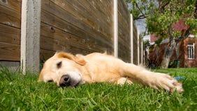 Goldener entspannender Apportierhund Stockfotos