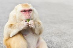 Goldener er-haarig Affe, der eine Geleefestlichkeit, Kam Shan, Hong Kong isst Stockbilder
