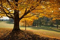 Goldener Fall-Laub-Herbst-Gelb-Ahornholz-Baum Stockbild