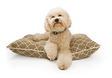 Goldener Farbe Labradoodle Hund mit Ausschnitts-Pfad Lizenzfreies Stockbild