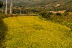 Goldener farbiger Reispaddy Stockfoto