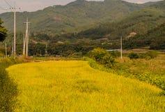 Goldener farbiger Reispaddy Stockfotografie