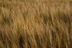 Goldener farbiger Weizen auf den Gebieten gestalten Hintergrund landschaftlich Lizenzfreies Stockbild