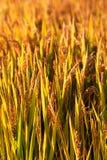 Goldener Farbreis archivierte im countryard von Gaoyou-Stadt, China Lizenzfreie Stockbilder