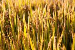 Goldener Farbreis archivierte im countryard von Gaoyou-Stadt, China Lizenzfreie Stockfotos