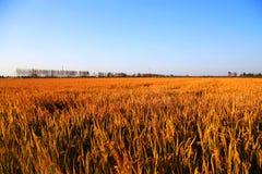 Goldener Farbreis archivierte im countryard von Gaoyou-Stadt, China Lizenzfreies Stockfoto