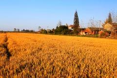 Goldener Farbreis archivierte im countryard von Gaoyou-Stadt, China Lizenzfreie Stockfotografie