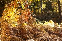 Goldener Farn verlässt in einer bunten Herbstwaldszene lizenzfreies stockbild