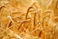 Goldener Feldhintergrund des Kornes (Weizen) während des Sommersonnenunterganglichtes mit Details über Kerne und Strohe Stockbild