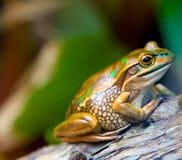 Goldener Frosch Lizenzfreie Stockbilder