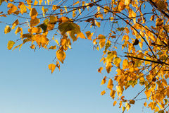 Goldener gelber Herbstlaub des Baums stockfotos