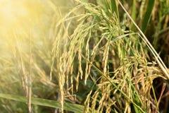 Goldener gelber Reisfeldhintergrund in Thailand Stockfotos