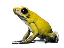 Goldener Gift-Frosch gegen weißen Hintergrund Stockbild