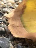 Goldener Ginkgo verlässt nah oben stockbilder