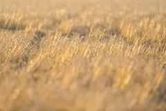 Goldener Gras-Hintergrund Stockfoto