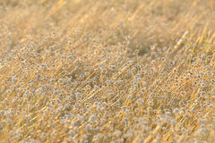Goldener Gras-Hintergrund Lizenzfreies Stockbild