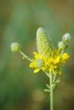 Goldener Graslandklee - Dalea aurea Lizenzfreies Stockfoto