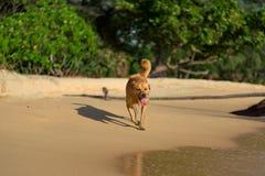 Goldener Haarhund, der auf dem faulen Strand läuft Stockfoto