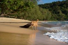 Goldener Haarhund, der auf dem faulen Strand läuft Stockfotografie