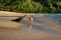 Goldener Haarhund, der auf dem faulen Strand läuft Lizenzfreie Stockfotos