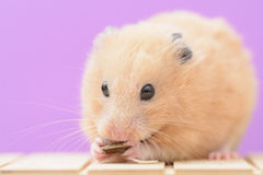 Goldener Hamster Stockfotos