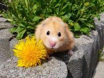 Goldener Hamster, der mit Blume aufwirft Lizenzfreie Stockbilder