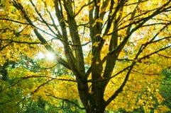 Goldener Herbst-Ahornholz-Baum und Sonnendurchbruch Lizenzfreies Stockfoto